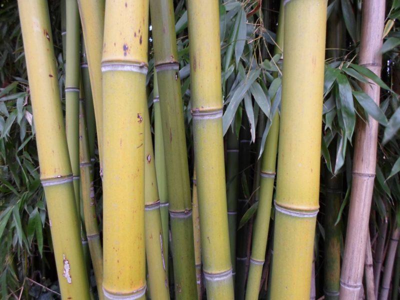 Chaumes de bambou