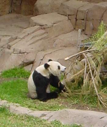 bambou-panda