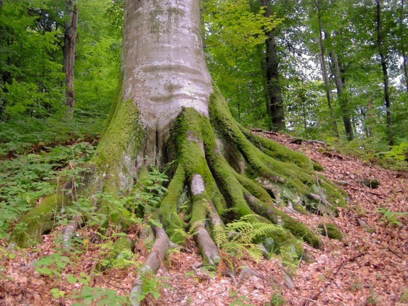 hetre-racines